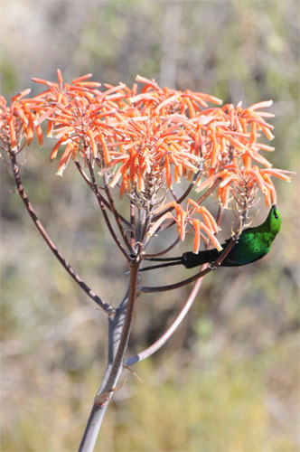 Sunbirds to korhaans - there is a wide variety of birds on the farm